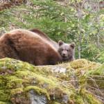 Bären im Nationalpark