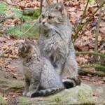 Wildkatzen im Tiergehege vom Nationalpark